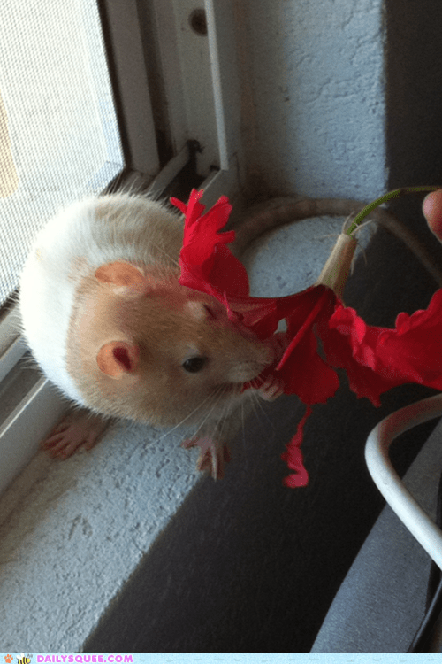 reader squee pet rat hibiscus snack noms squee - 6640192256
