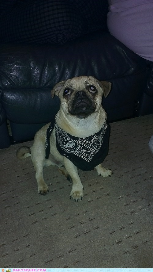 pug reader squee bandana pet cowboy dogs squee - 6642133760