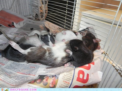 reader squee rats mommy Babies feeding nursing pet - 6642459904