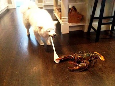 Afternoon Snack,samoyed,lobster