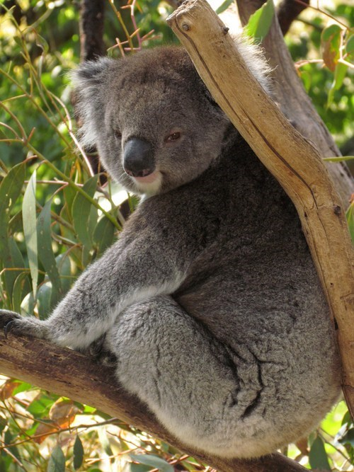 relaxing Fluffy koalas chilling out squee
