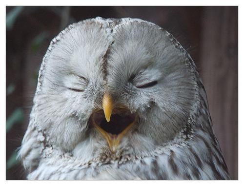 yawn birds owls squee sleepy