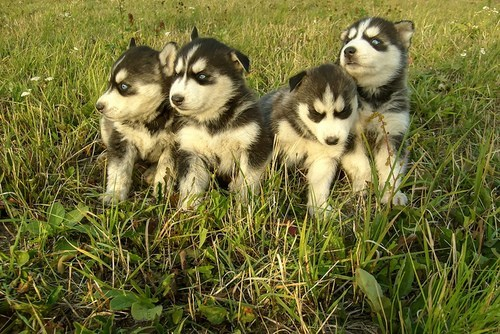 dogs puppy cyoot puppy ob teh day husky huskie grass - 6643737344