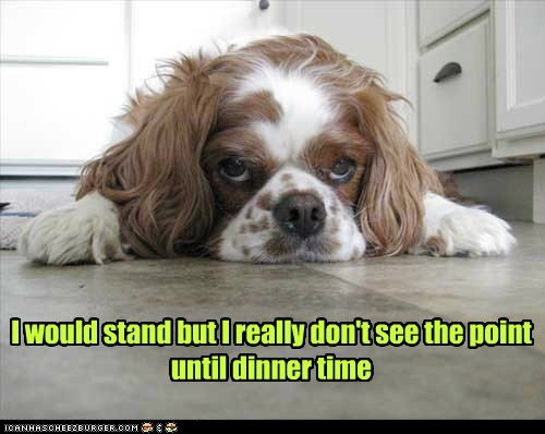 standing,dogs,spaniel,lazy,no point,dinner