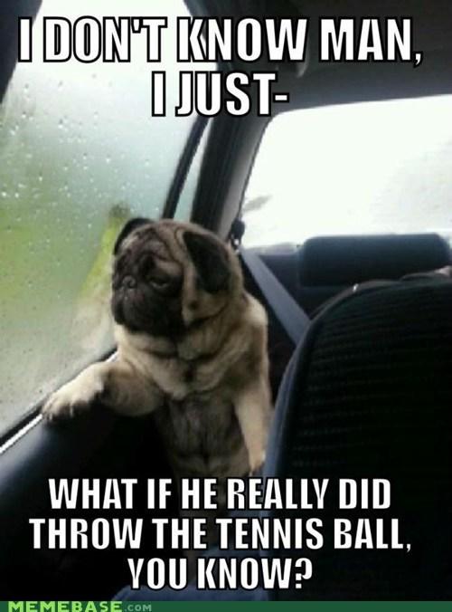 introspective pug tennis ball dogs car window thoughts deep - 6645035264
