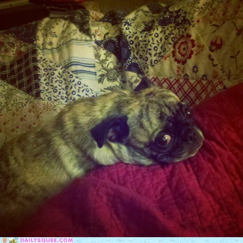 reader squee,squee,dogs,pug,rescue,bed