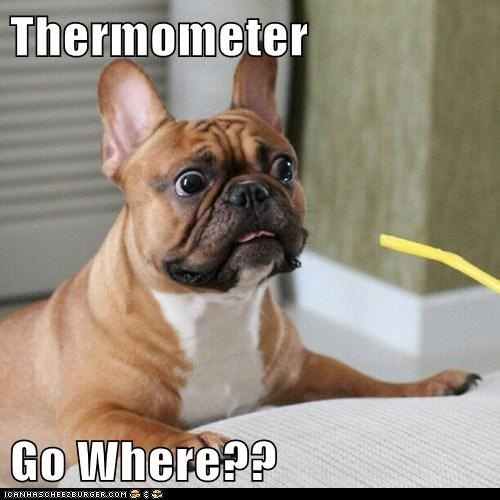 shock,dogs,french bulldogs,thermometer