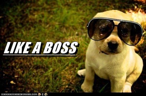 Like a Boss dogs sunglasses puppy golden lab