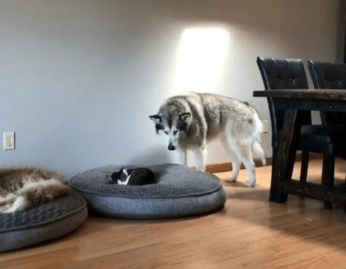 a cover photo of a big husky looking at his dog bed but finding a cat has taken over and sleeping in the middle - cover photo for a list of funny Instagram videos all revolving cats from this week