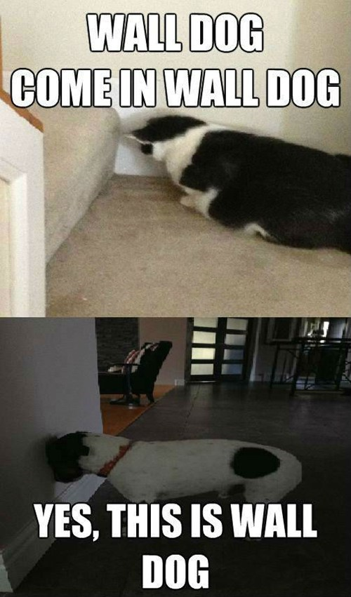 Cats,dogs,walls,multipanel,captions,wall dog,hello yes this is dog,Memes