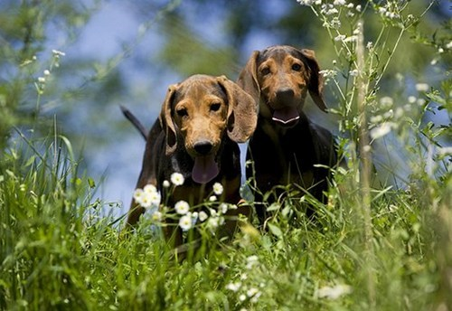 dogs,goggie ob teh week,serbian hound,winner,poll,results