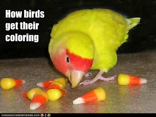 parakeet,candy corn,birds,eating,coloring