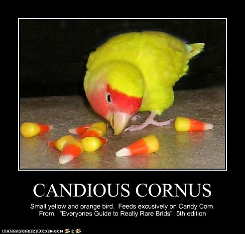 """CANDIOUS CORNUS Small yellow and orange bird. Feeds excusively on Candy Corn. From: """"Everyones Guide to Really Rare Brids"""" 5th edition"""