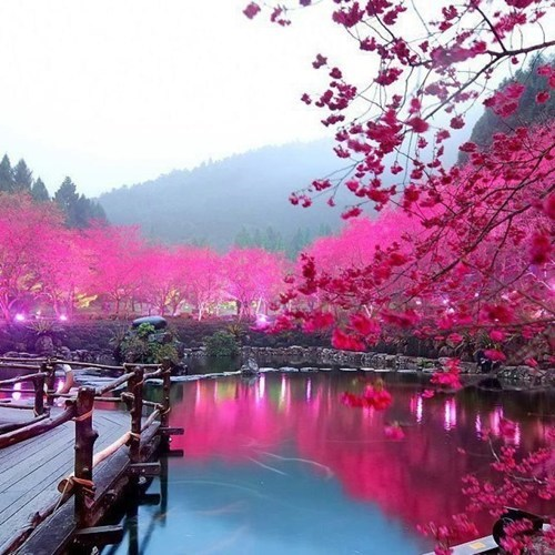 Cherry Blossom Lake In Bloom