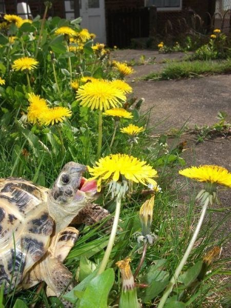 dandelions turtles tortoise flowers eating noms squee delightful insurance - 6653075200