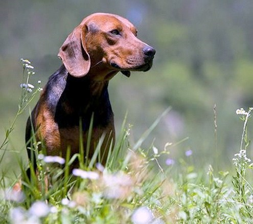 goggie ob teh week serbian hound dogs grass balkan - 6653509376