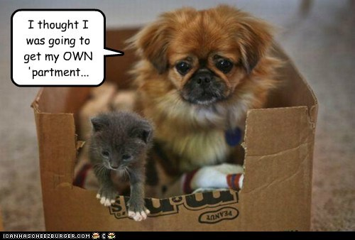 dogs,card board box,sharing,shih tzu,kitten,sad dog,apartment