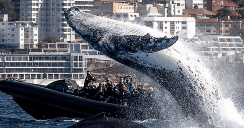 giant whale leaps by a boat