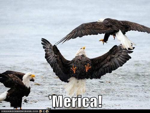 eagle merica bald eagles fighting