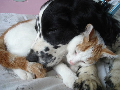 dogs cat kittehs r owr friends spaniel cuddling nap - 6655898368