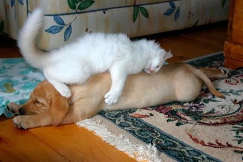 Cats dogs Interspecies Love cuddles hugs hugging on top goggies r owr friends - 6656185600