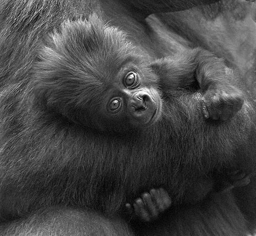 floof baby afro hairdo squee gorilla - 6656243712