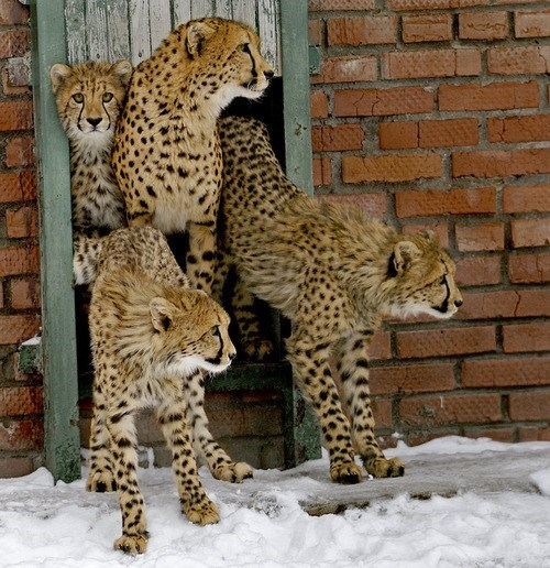 snow cheetahs confused wild cats squee - 6656248064