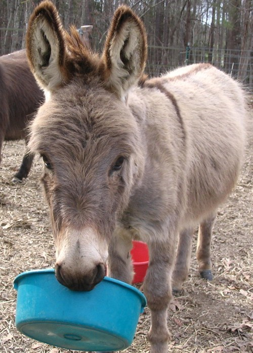 squee spree,donkey,squee,bucket,blue,ears