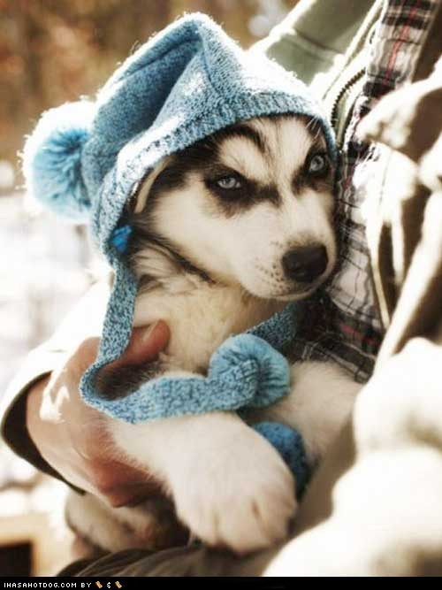 dogs puppy cyoot puppy ob teh day husky huskie hat winter cold