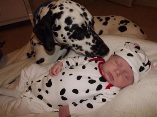 baby dalmatian daww - 6659183872