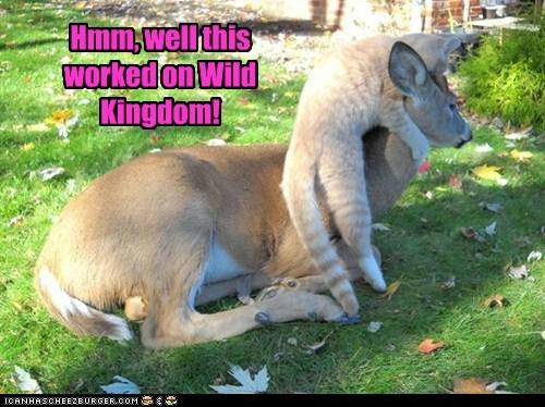 cat too big deer confused hunting - 6659309312