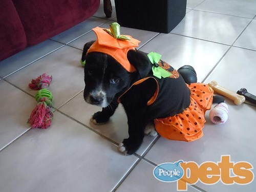 dogs puppies halloween costume pumpkins around the interwebs people pets - 6659551744