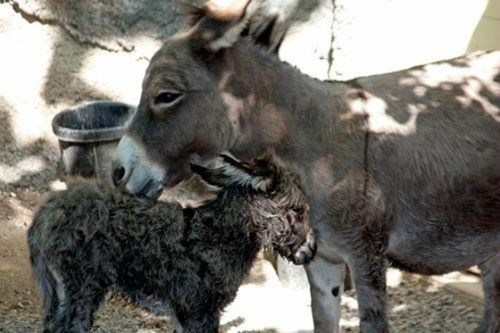 squee spree squee donkey baby mommy cleaning Fluffy - 6659814400