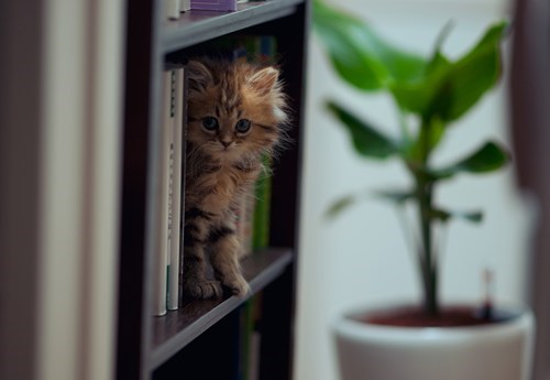 Cats,kitten,cyoot kitteh of teh day,bookshelves,books,reading,shelves