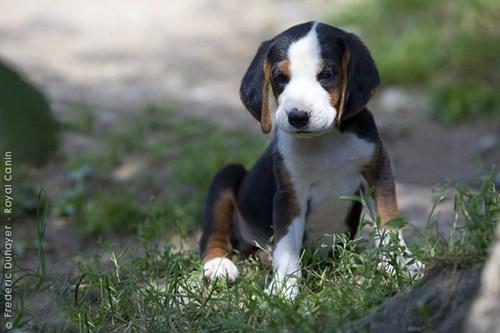 dogs goggie ob teh week puppy tricolor serbian - 6660256256