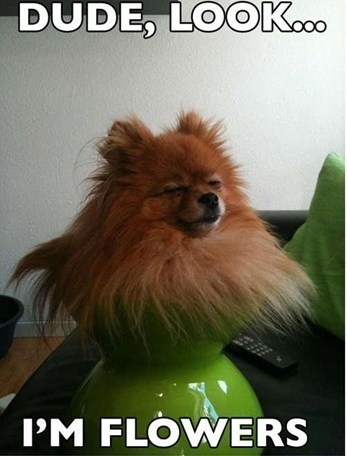 pomeranian dogs vase flowers dude - 6662533376