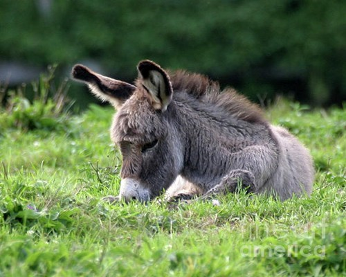 donkey squee spree squee baby Fluffy ears - 6663188224