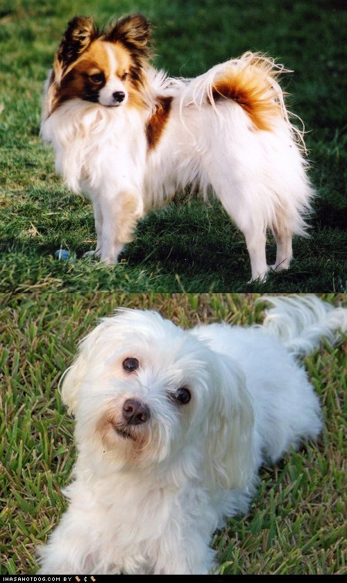 dogs goggie ob teh week face off papillon maltese versus poll - 6663341056