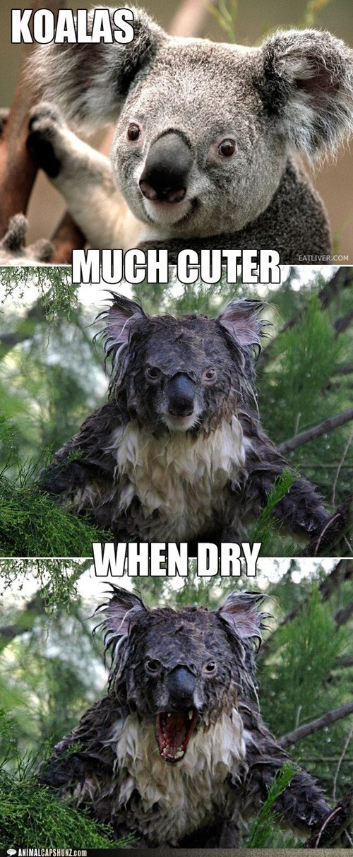 scary wet koalas cuter angry dry