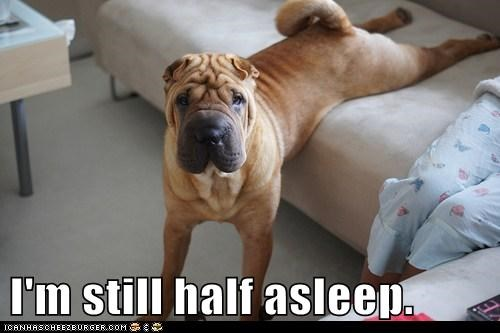 dogs lazy couch shar pei half asleep
