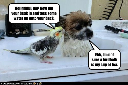 Delightful, no? Now dip your beak in and toss some water up onto your back. Ehh, I'm not sure a birdbath is my cup of tea.