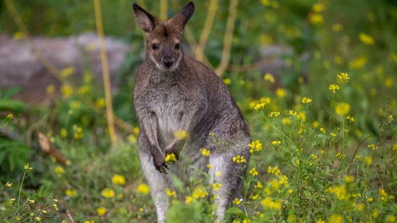 spotted kangaroo australia austria - 6668293