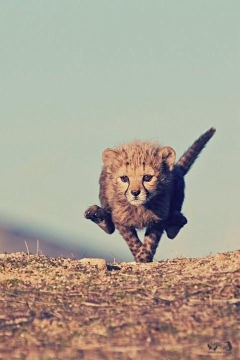 Babies cubs cheetahs running squee - 6668330752
