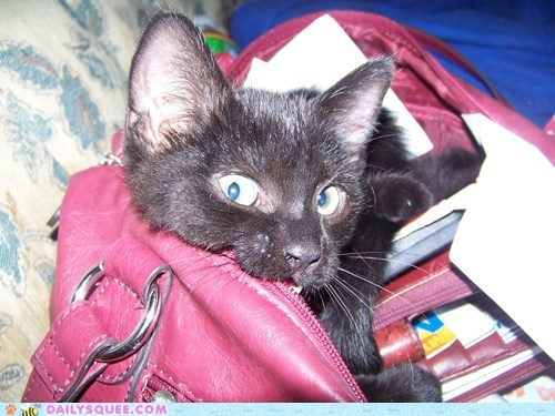 experimenting,cat,purse,reader squee,nom,pet,squee
