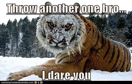 snowball i dare you bro snow tiger angry