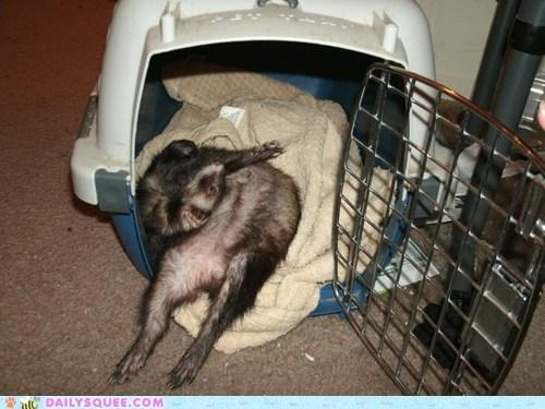reader squee pet squee ferret chiropractor sleeping upsidedown - 6672588544