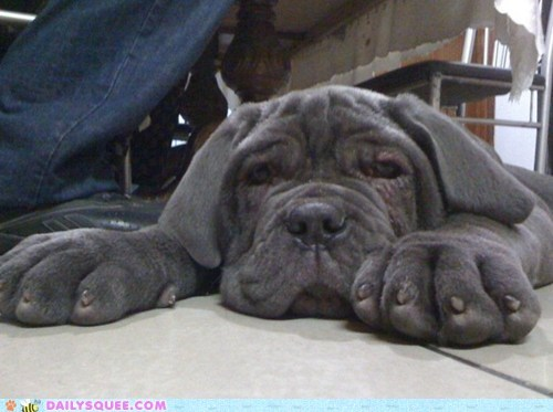 dogs reader squee puppies neapolitan mastiff pet squee