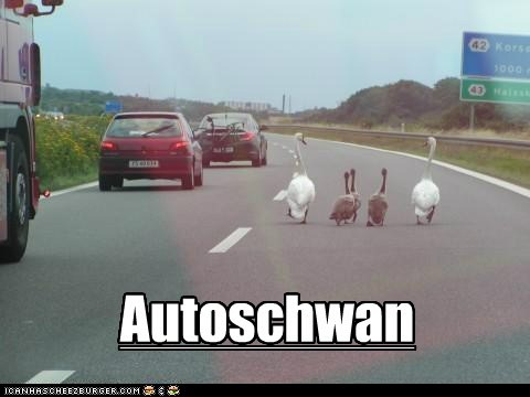 road pun freeway autobahn swans walking
