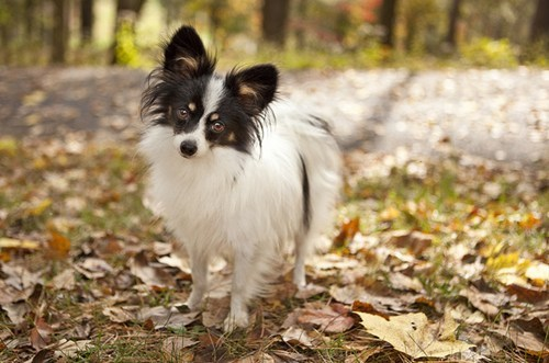 dogs goggie ob teh week papillon winner poll results