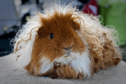 curls locks long hair guinea pig perm squee
